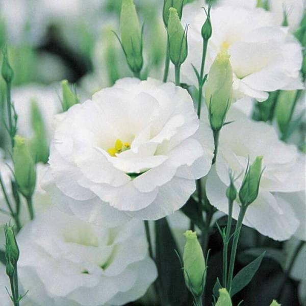 white kioto