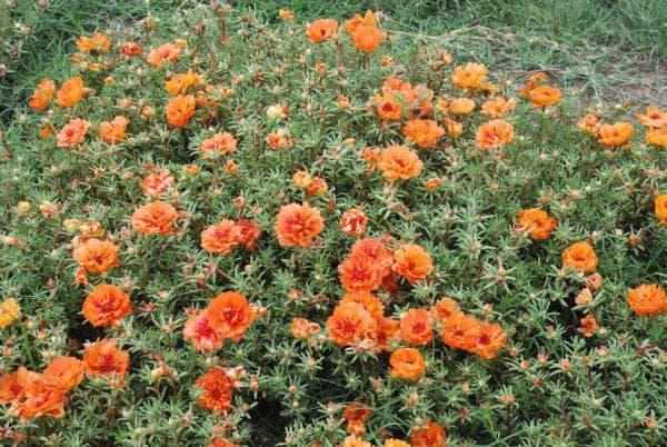 оранжевый портулак