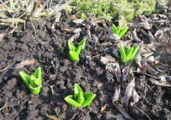 выбор почвы для цветов Гиацинтов