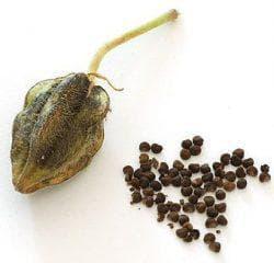 семена мальвы