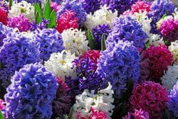как ухаживать за цветами Гиацинтов