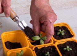как посадить семена эустомы