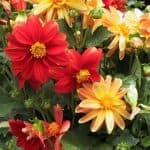 выращивание из семян Пенстемона в домашних условиях
