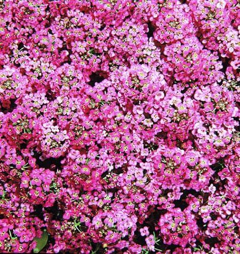 Алиссум Розовая королева