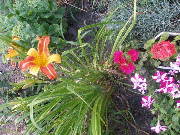 долго цветущий Лилейник