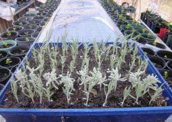 как сажать лаванду семенами