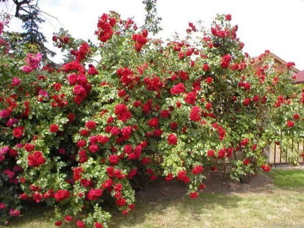 многолетняя роза