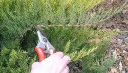размножение стелющегося можжевельника