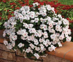Цветы катарантус: выращивание из семян, когда сажать