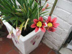 уход за цветами спараксис