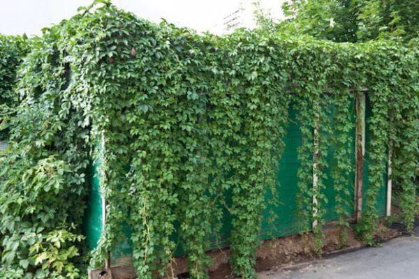 дикорастущие лианы