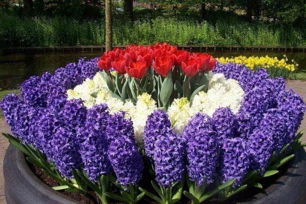 гиацинт цветущая всё лето