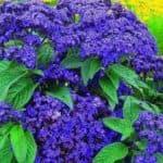 цветы Лиатрис многолетник
