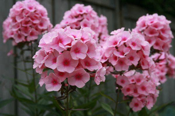 флокс метельчатый цветущая всё лето
