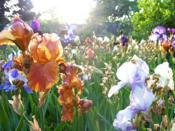 ирисы цветущая всё лето