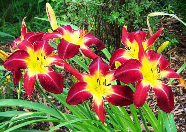 лилейники цветущая всё лето