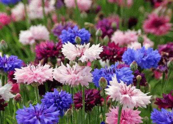 Василёк цветущая всё лето