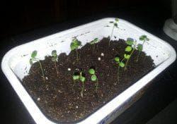 семена полиантовой розы