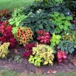 как посадить Немезию семенами