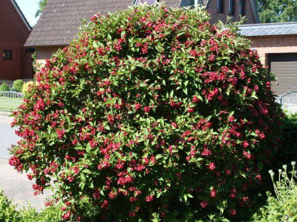 цветок Ева Ратке