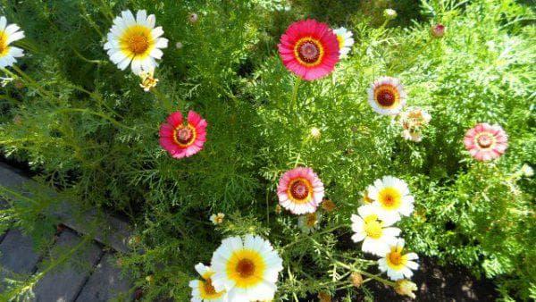 килевая хризантема