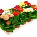 Особенности самостоятельного выращивания гербер из семян