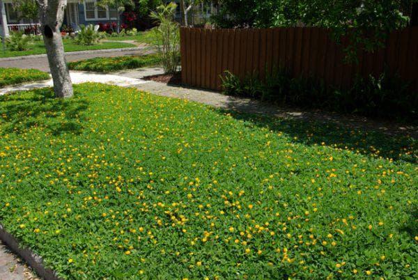 почвопокровный тимьян ползучий для газона
