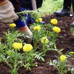 как посадить декоративную капусту на рассаду