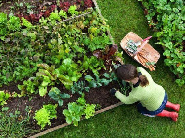 овощи на даче