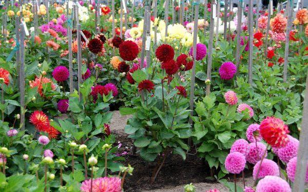 георгины для огорода на даче