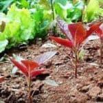 Выращивание амаранта из семян: как и когда сажать