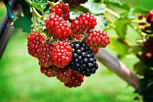 плоды шелковицы Пирамидальная