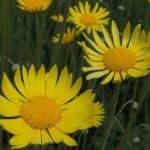 Как посадить урсинью из семян: особенности выращивания