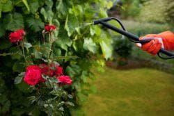 распрыскивание розы