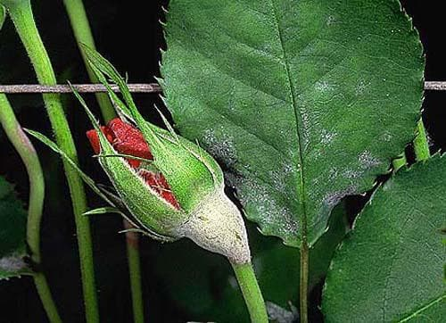 сворачивание листков роз