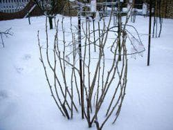 зимовка калины
