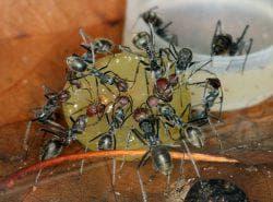 ловушки для муравьёв на цветах