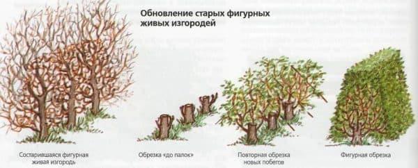 обрезка куста живой изгороди