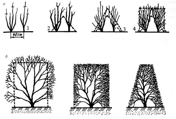 формирование правильного куста живой изгороди